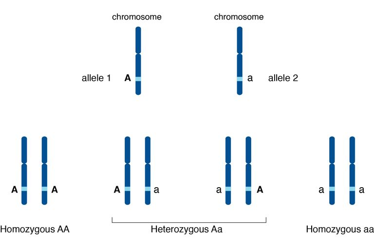An illustration of alleles and their relationship to chromosomes