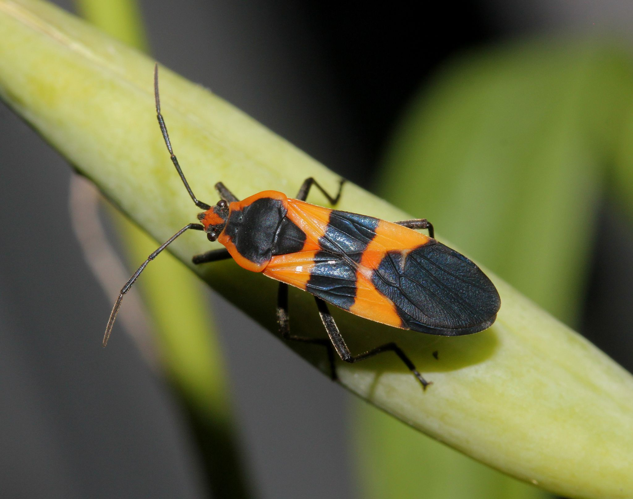 10 red and black bugs