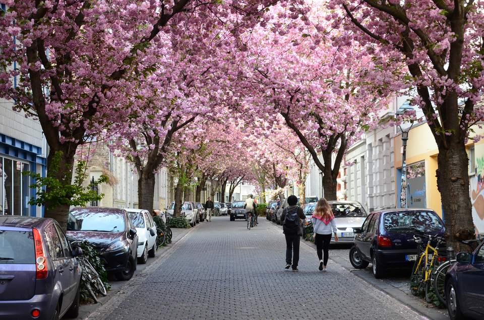 Bonn Cherry Blossom Avenue