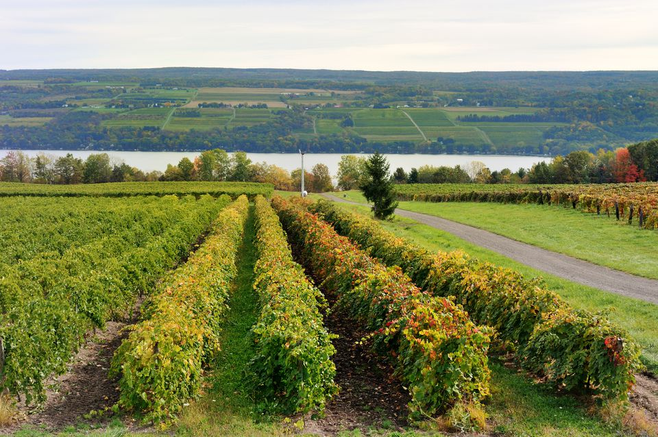 Vineyard on Keuka Lake, New York, with autumn trees in the background