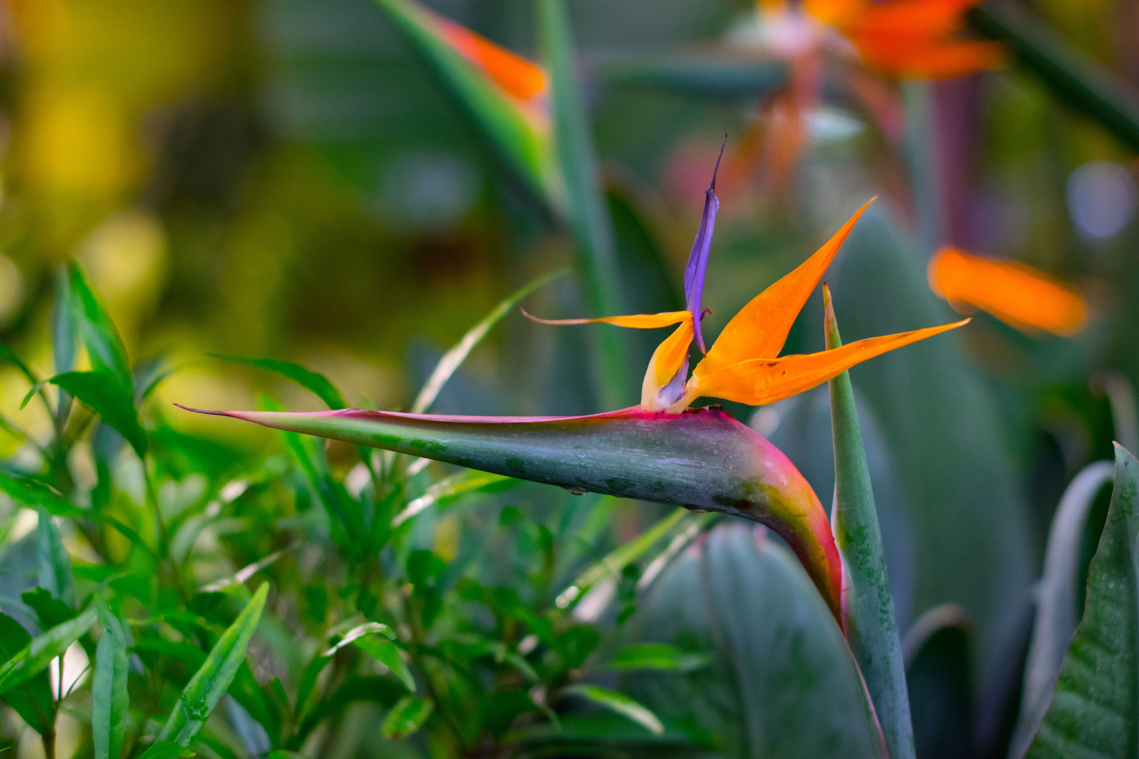 how to look after bird of paradise plant