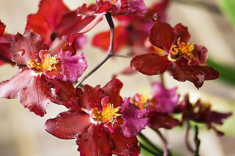 Blossoming inflorescence of red odontoglossum orchid