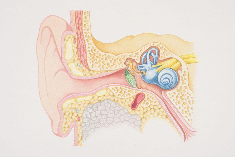cross section of inner ear