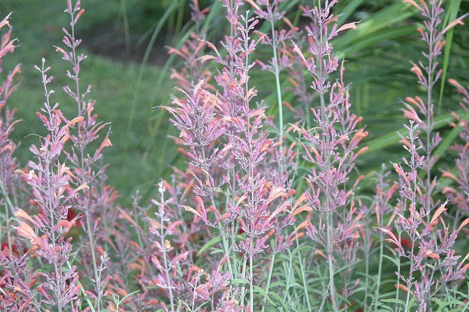Agastache (Hummingbird Mint)