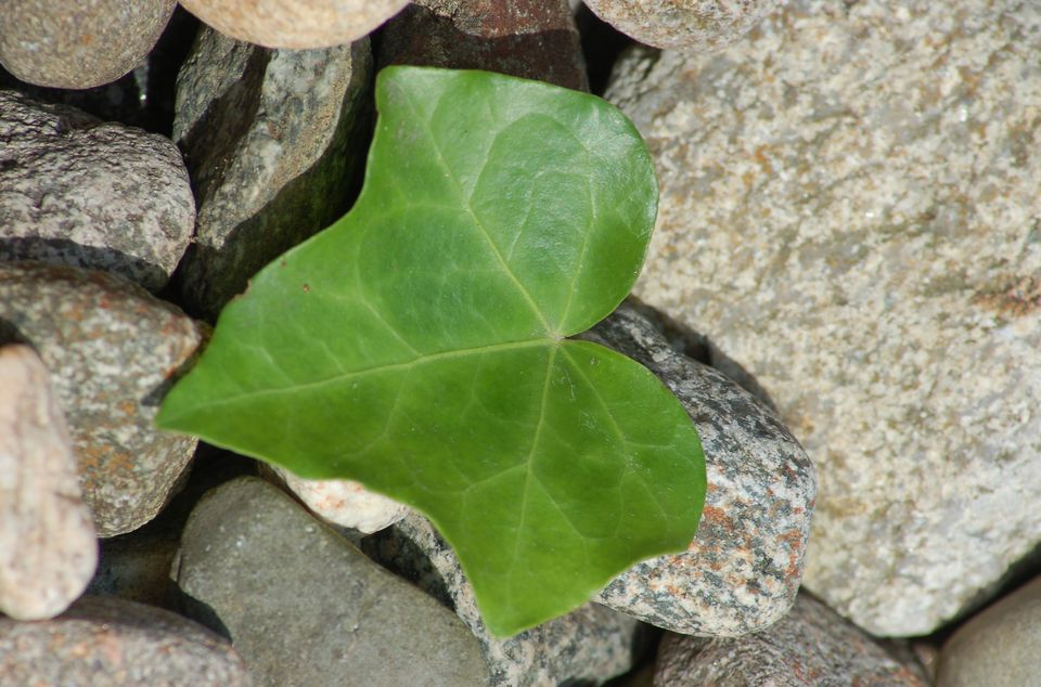 Image: a leaf has fallen on this stone mulch. Its decomposition could pose problems.