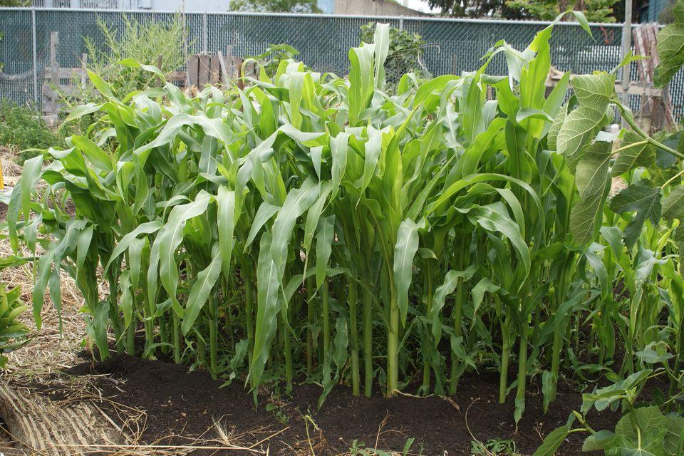 Corn at an Urban Farm