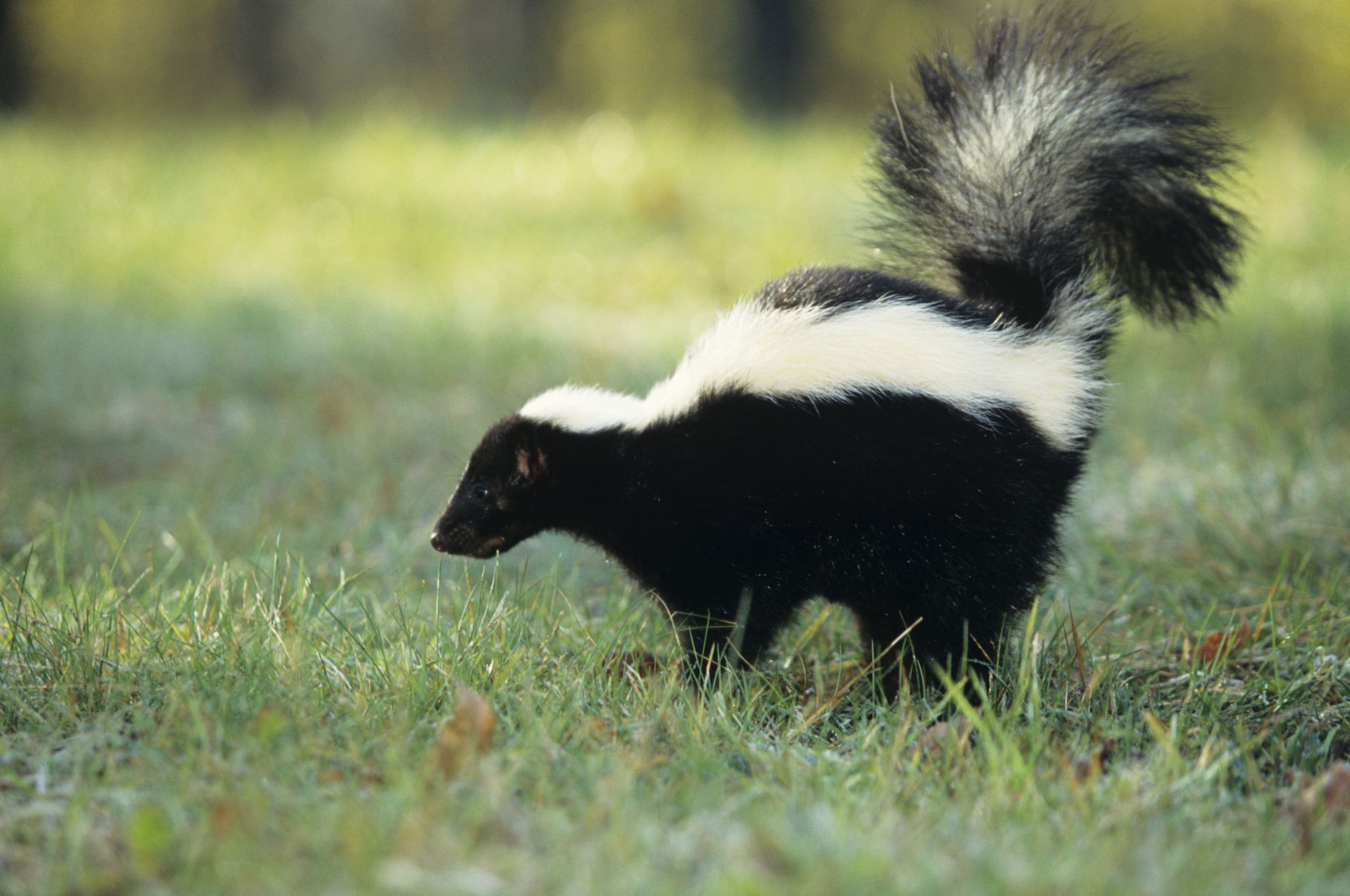Getting skunk smell out of the house - Find Out Why Skunks Spray And How To Effectively Get Rid Of The Odor