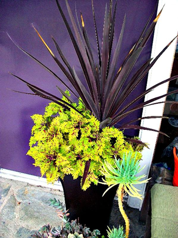 cordyline and coleus planter
