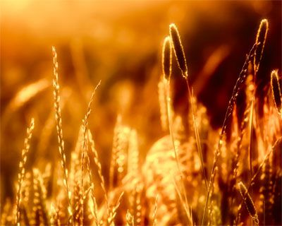 Up-close picture of a wheat field from InterfaceLIFT