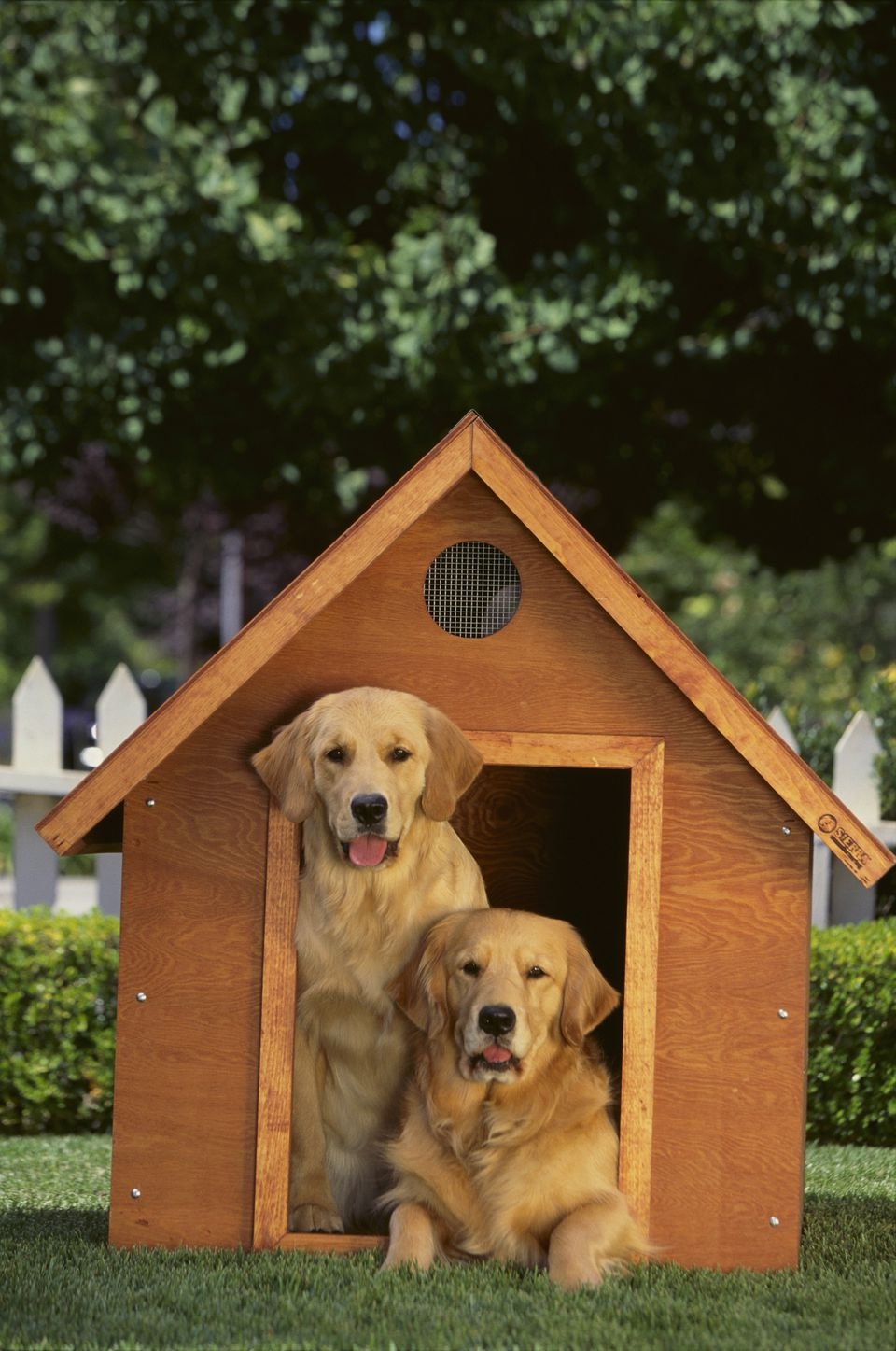Two Golden Retrievers In a Wooden Dog House Looking at Camera