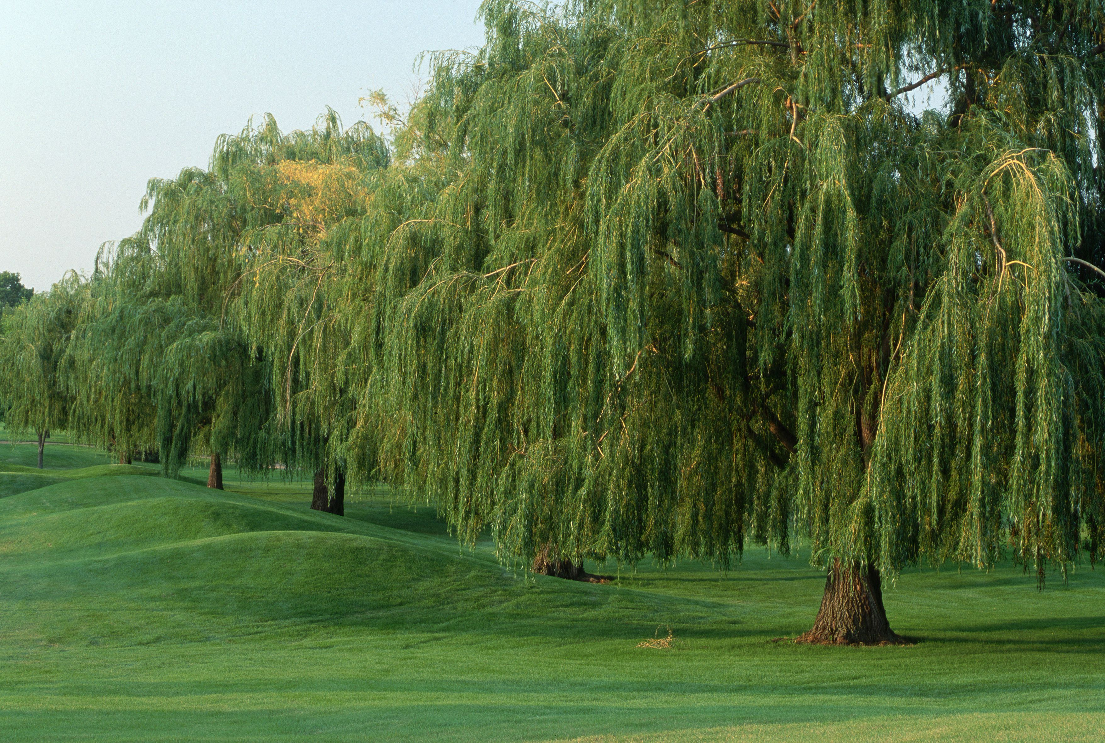 Common species of willow trees and shrubs biocorpaavc Image collections