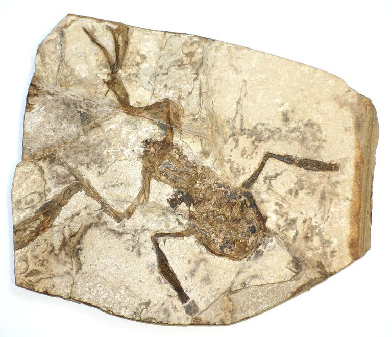 A fossilized frog, from Bechlejovice in the Czech Republic. possibly Palaeobatrachus gigas