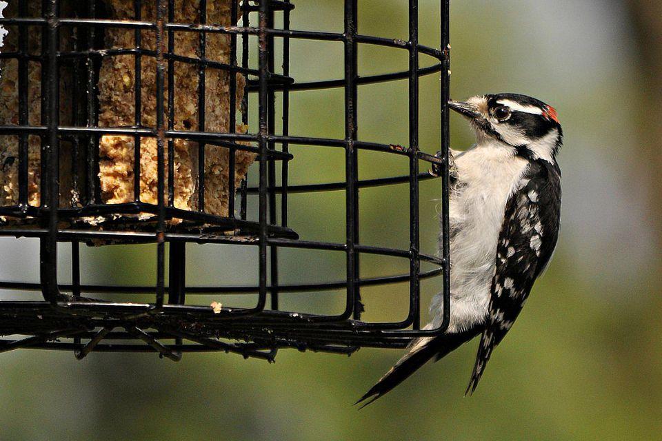 Downy Woodpecker on a Suet Feeder