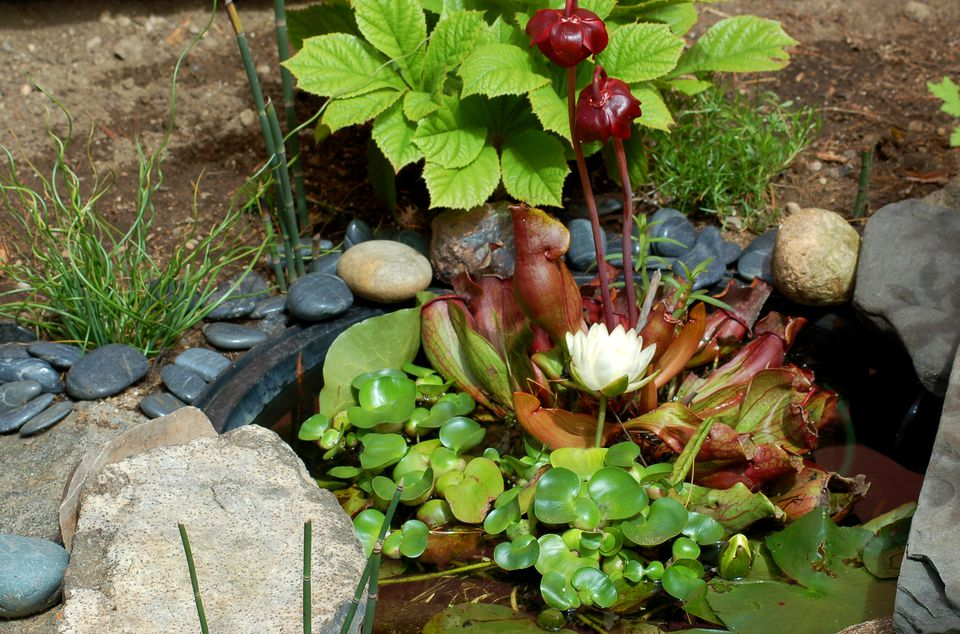 Image of water-garden with water lily, pitcher plant.