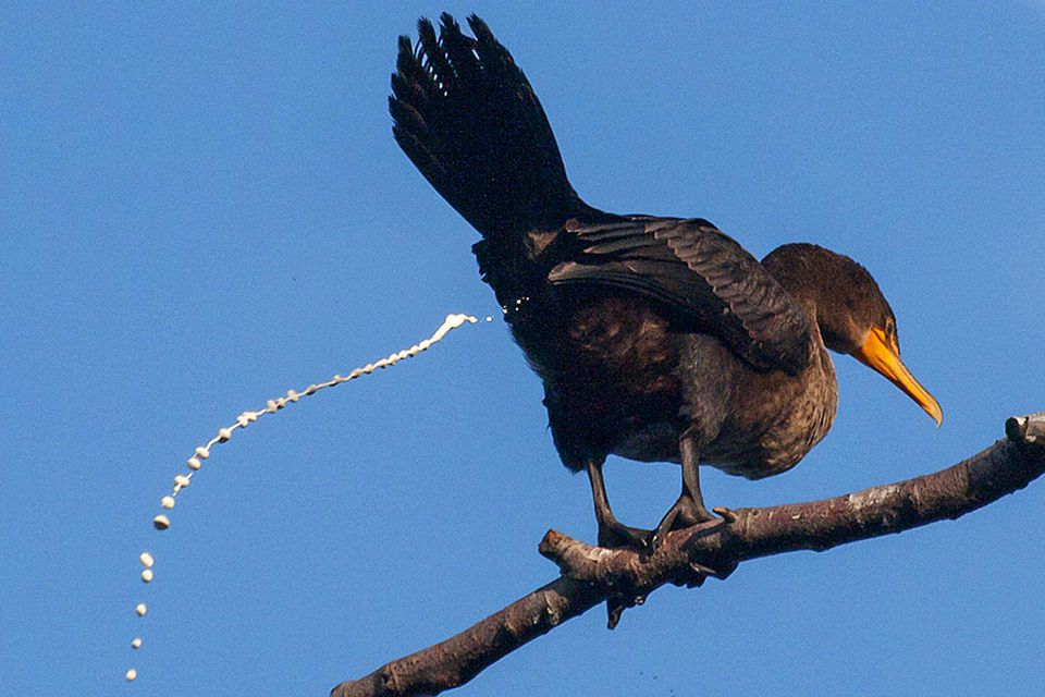 Cloaca Definition Bird Anatomy