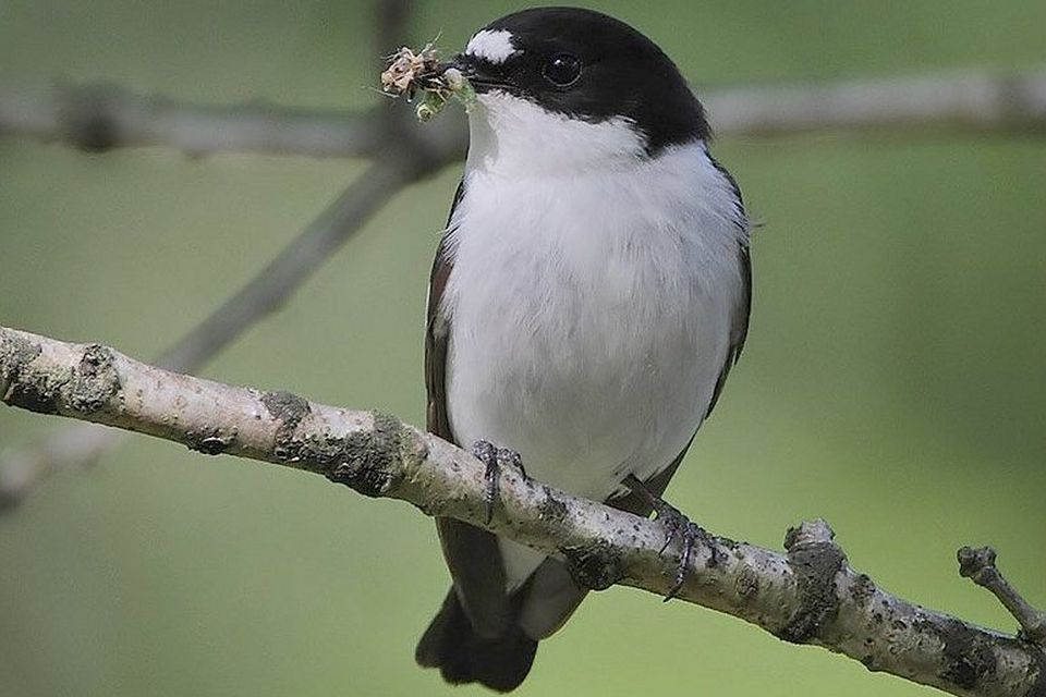 Pied Flycatcher With Insect
