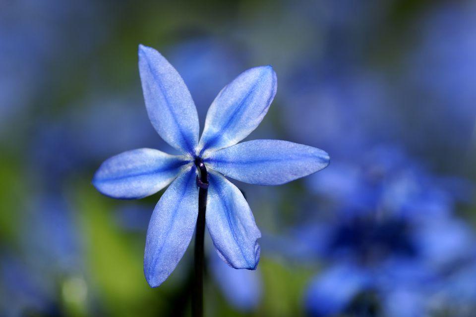 Closeup of blue flower of Scilla siberica.