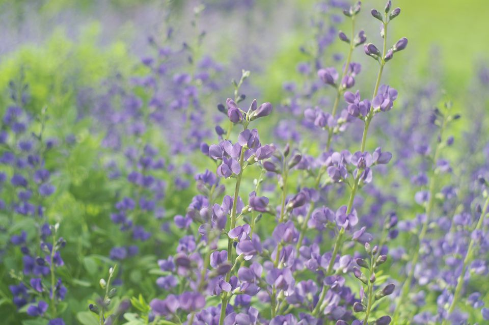 baptisia australis - Common Purple Garden Flowers
