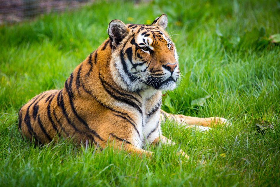 Tiger On Field