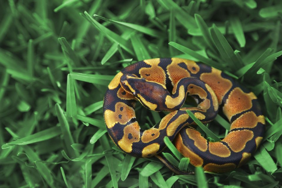 Baby Ball Python curled up on grass