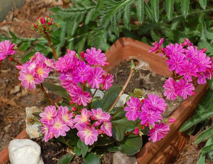 The perennial dianthus flower learn how lewisia received its name why you should grow it mightylinksfo Choice Image