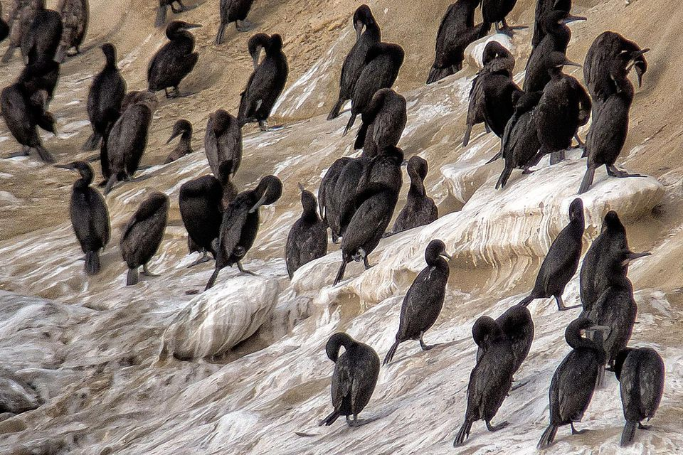 Cormorants on the Cliffs in La Jolla