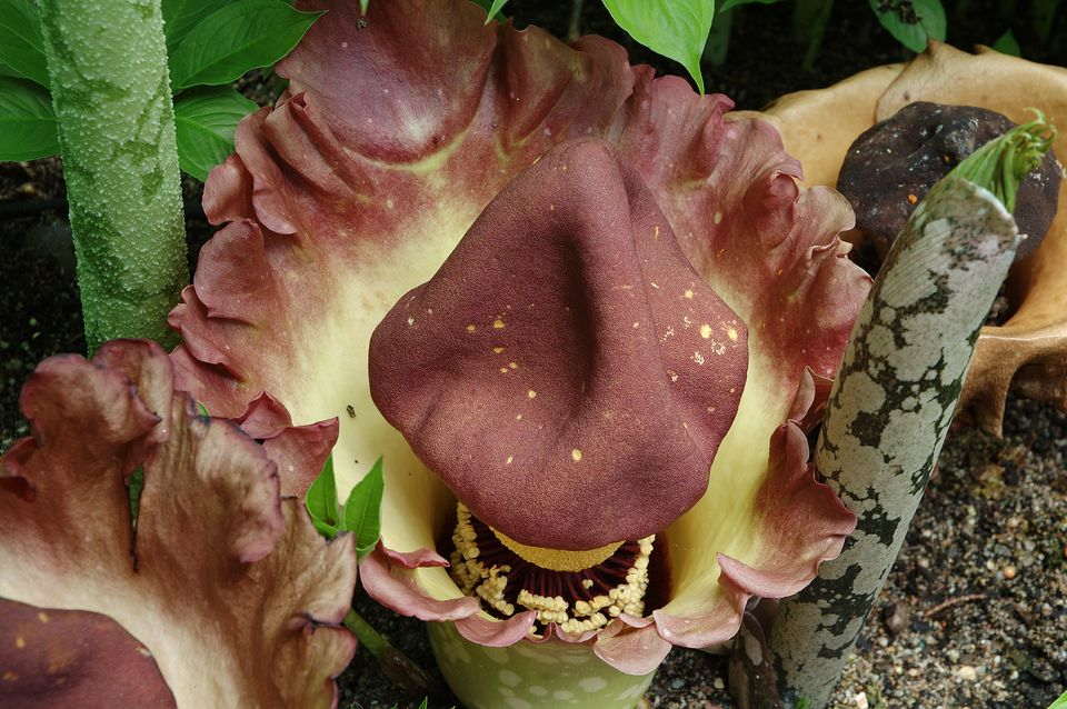 Voodoo Lily, Amorphophallus, Australian National Botanical Gardens