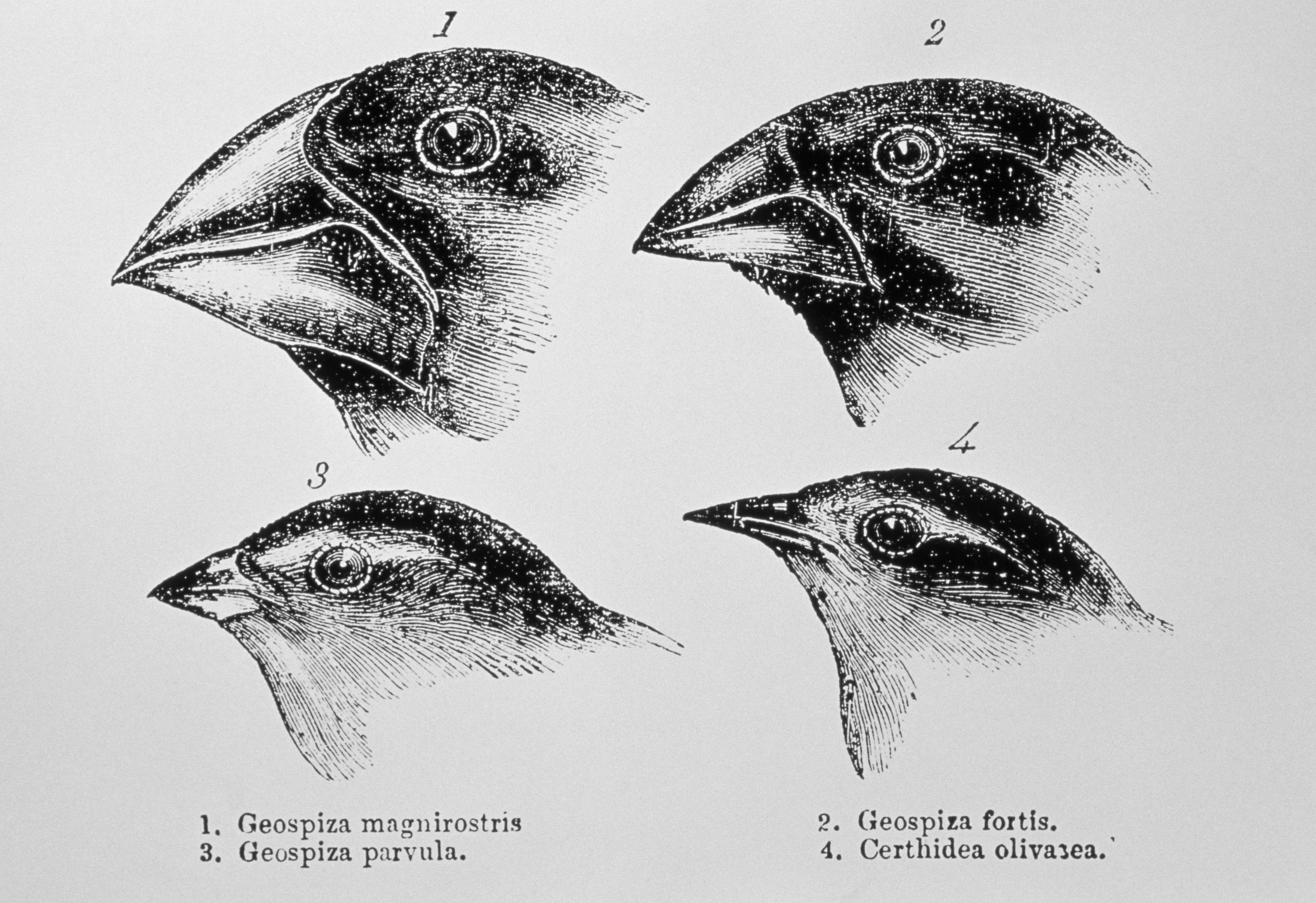 beaks of finches A study finds that a gene that helps form human faces also shapes the beaks of the famously varied galápagos finches.