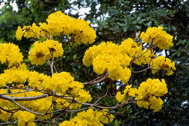 Roble amarillo