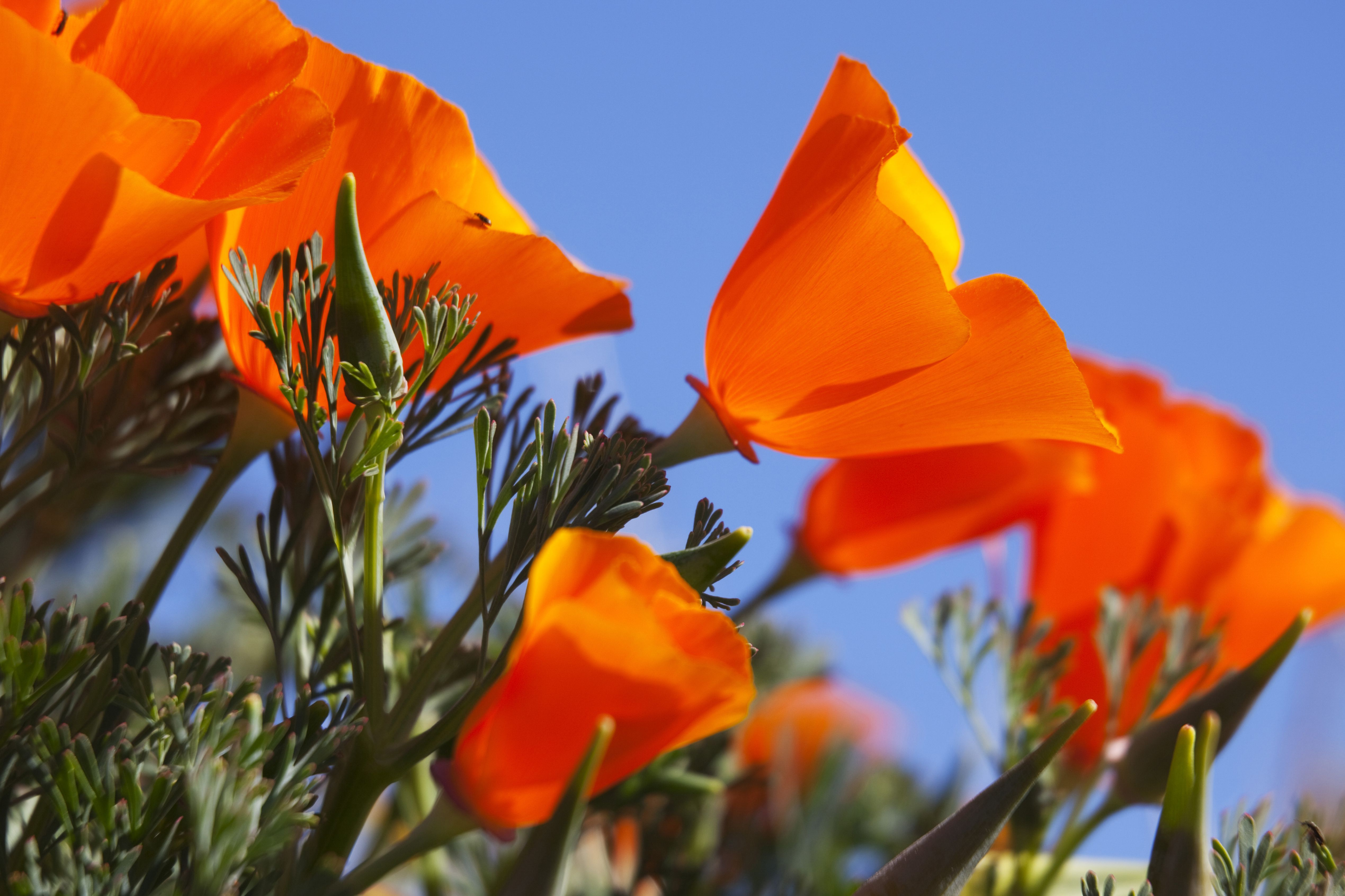 Antelope valley poppy reserve what to know about it mightylinksfo