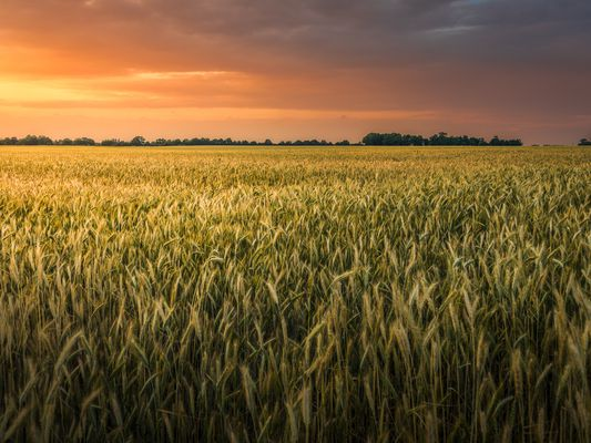 Scenic View Of Wheat Field Against Sky During Sunset
