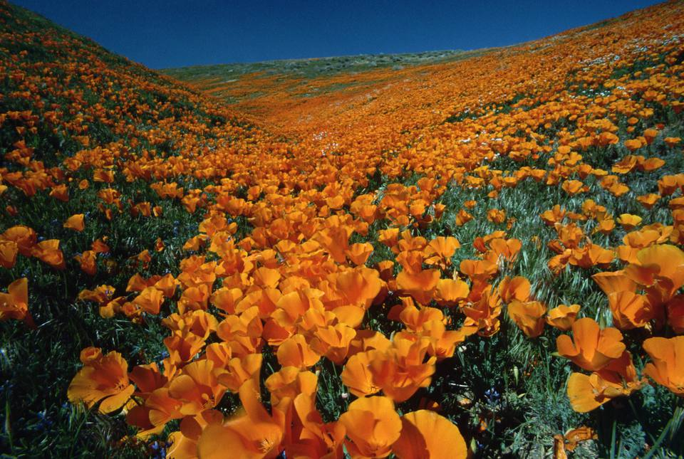 Hundreds of thousands of bright orange California poppies fill California's Antelope Valley.