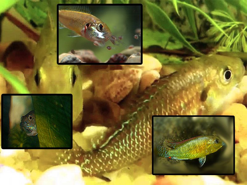 Dwarf Egyptian Mouthbrooder, Pseudocrenilabrus multicolor