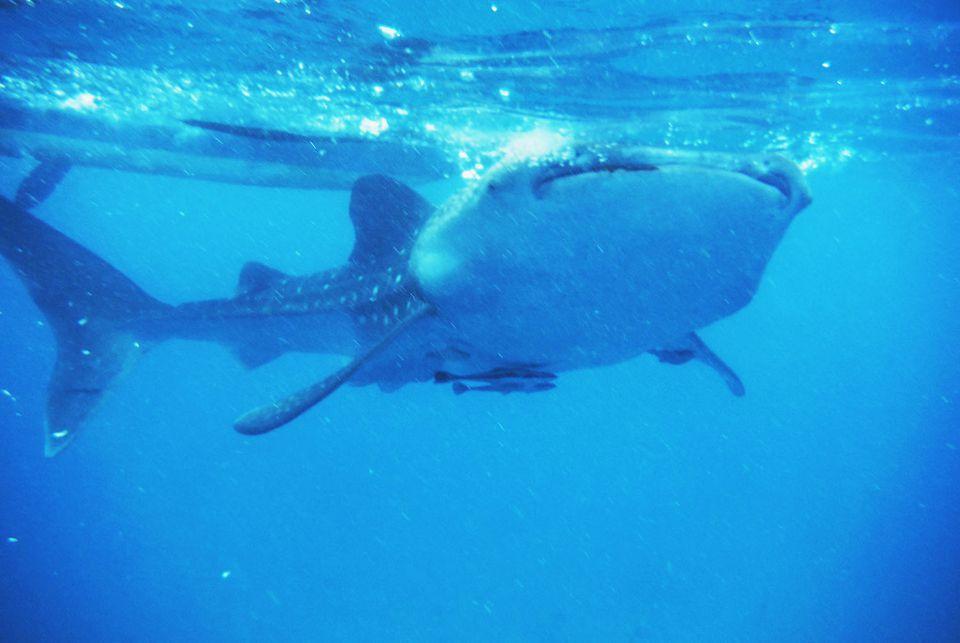 oslob_shark_5.jpg