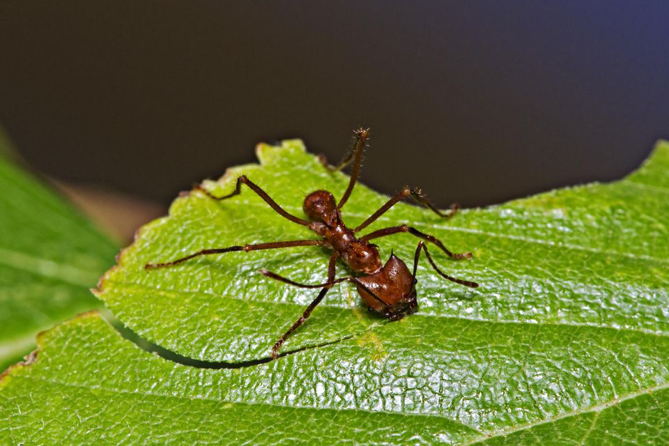 'Soldier' Leafcutter ant on leaf