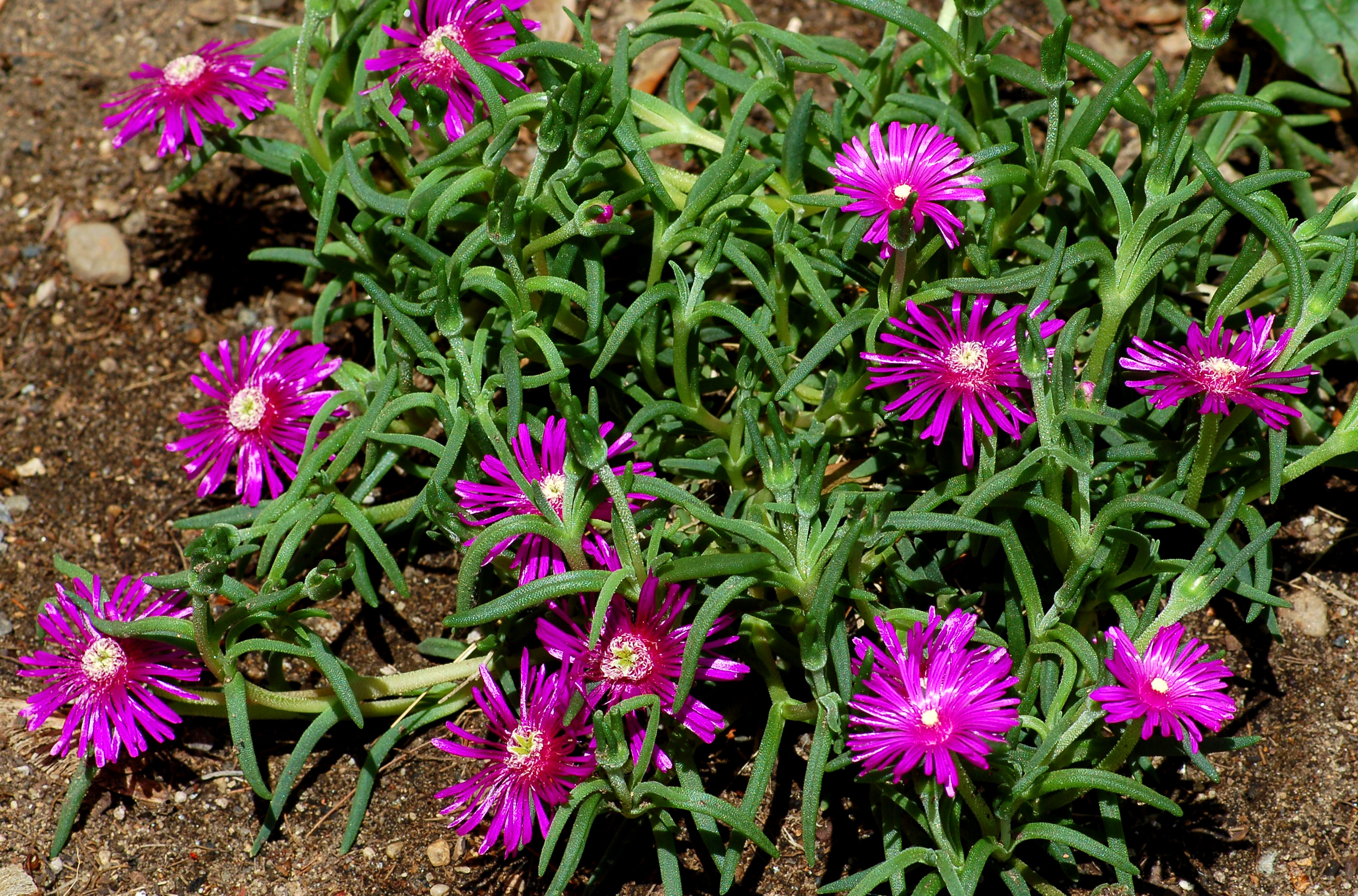 Fast Growing Ground Cover For Flower Beds