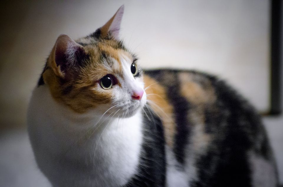 Image result for calico cat