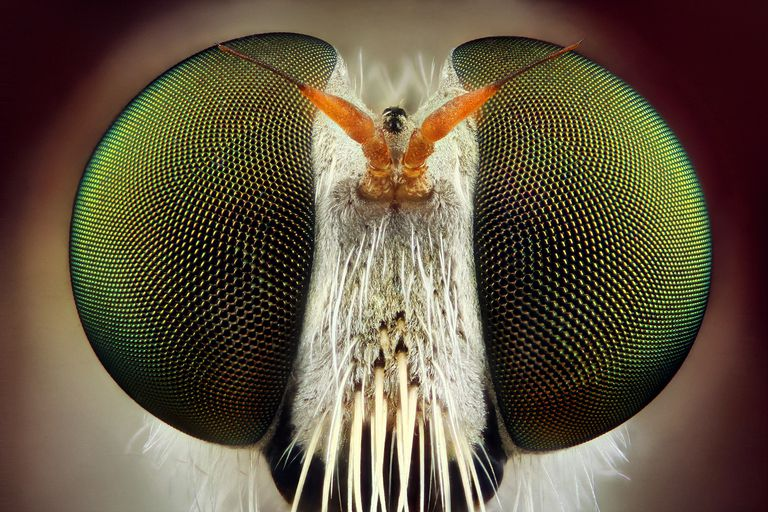 robber fly closeup