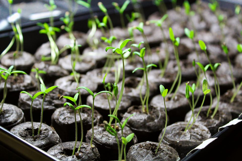 seedlings growing in soil blocks