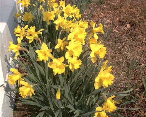 Picture of yellow daffodils.