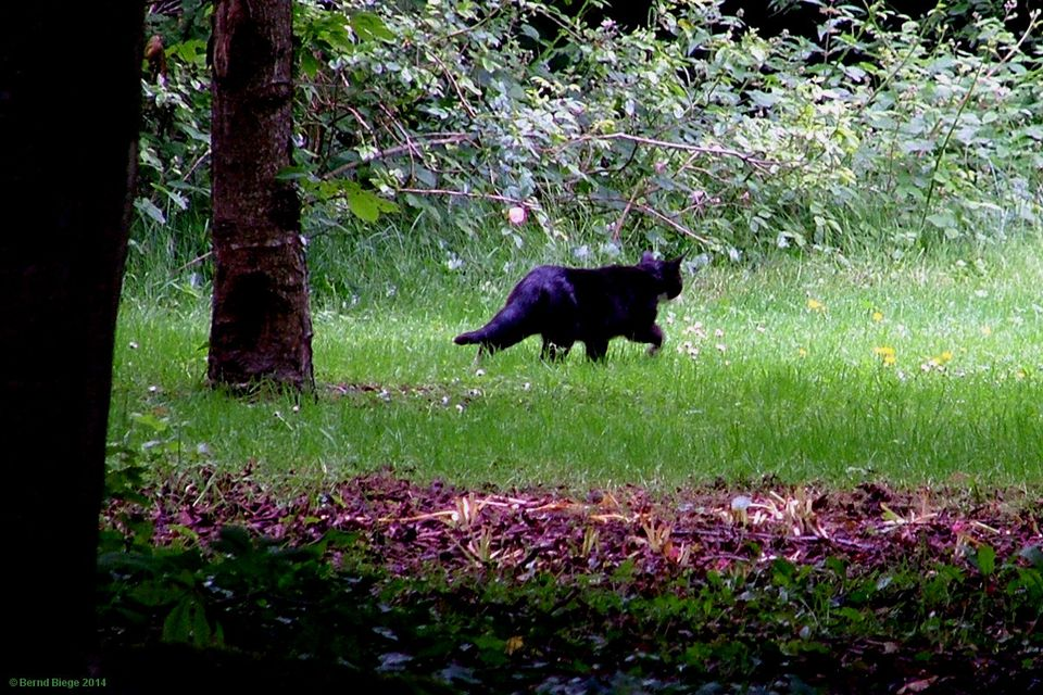 A black cat crossing your path ... not necessarily a bad sign, as the Celts seem to have regarded the felines as lucky.