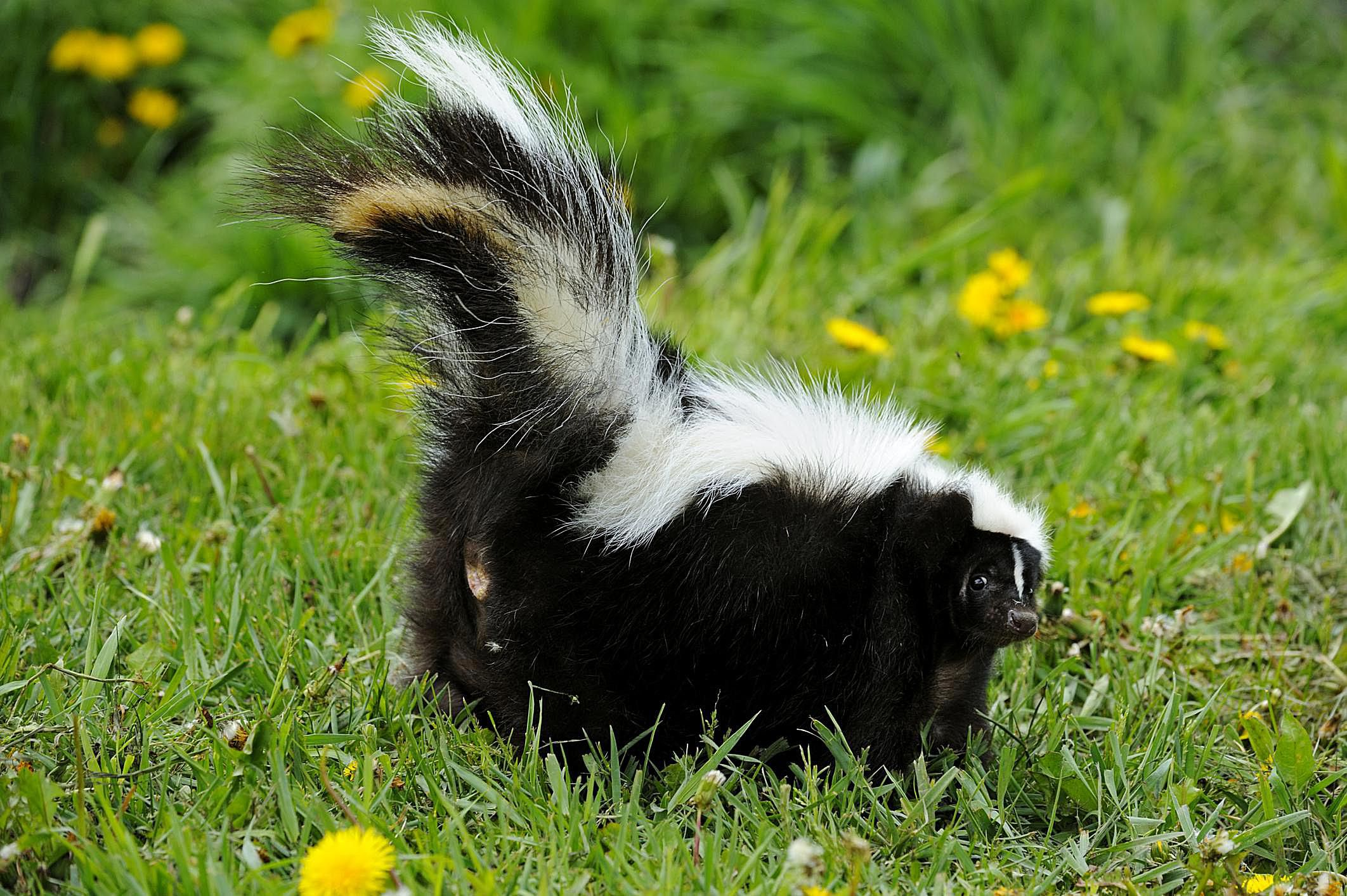 Get Rid Of Skunk Odor What Really Works