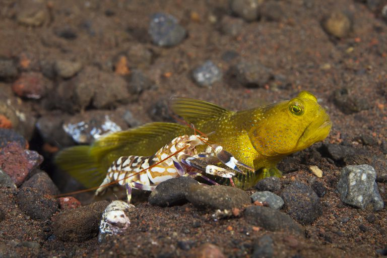 Yellow Shrimp Goby (Cryptocentrus Cinctus) Living With A Blind Snapping Shrimp (Alpheus Sp.), Bali, Indonesia