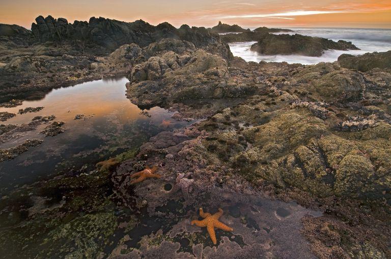 Sea stars in a tide pool