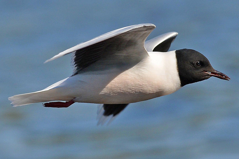 15 fun facts about gulls gull trivia seagulls