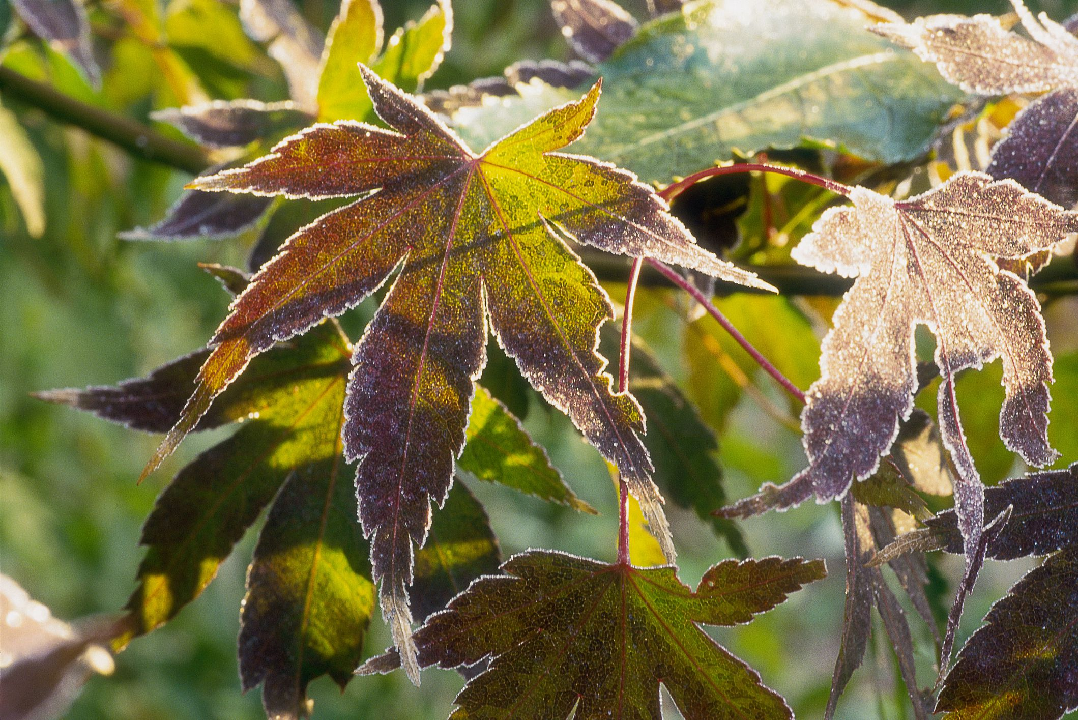 What Are Palmate Leaves And Which Plants Have Them