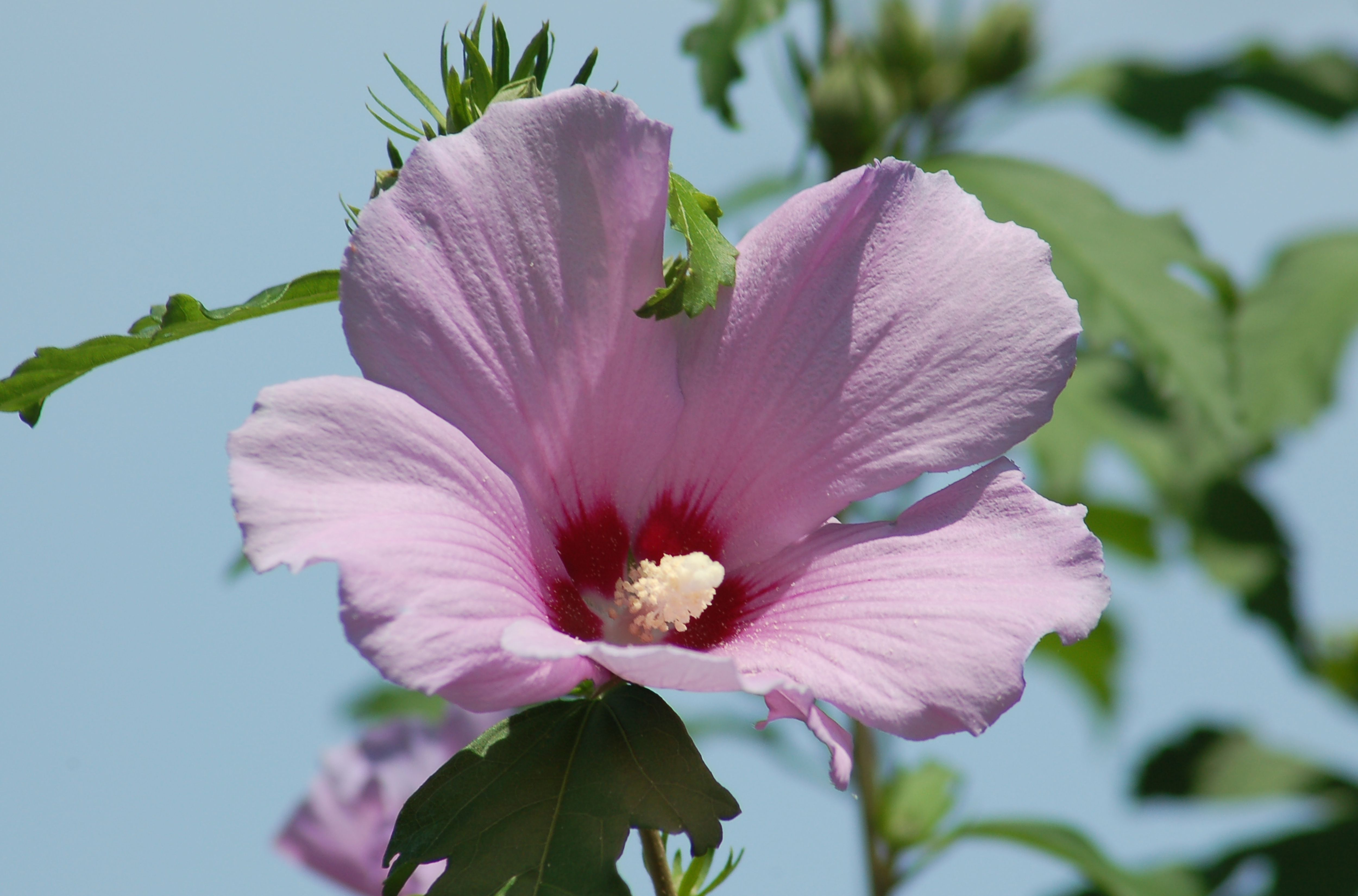 Why the buds on your rose of sharon arent flowering izmirmasajfo Image collections