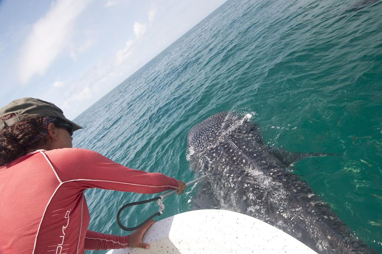 Biologist taking skin sample from a whale