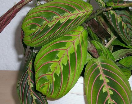 heres an experts guide to growing maranta inside