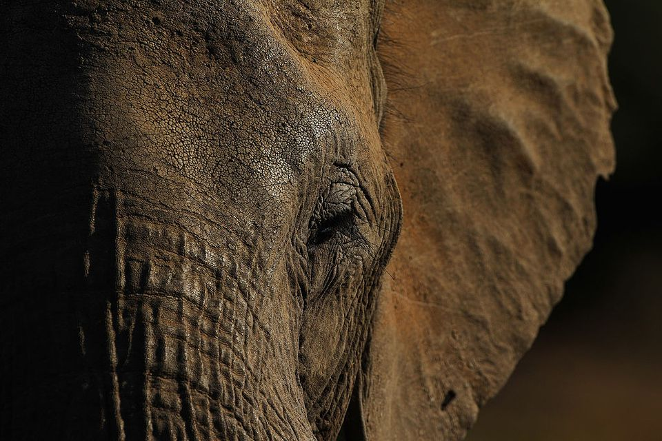 Detail of an elephant at the Mashatu game reserve on July 26, 2010 in Mapungubwe, Botswana. Mashatu is a 46,000 hectare reserve located in Eastern Botswana where the Shashe river and Limpopo river meet